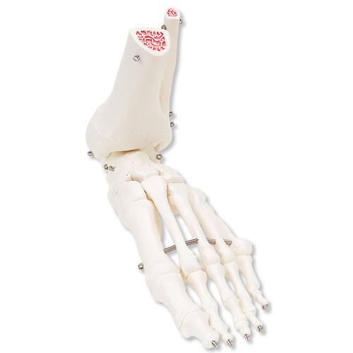 All Products - Voetskelet Met Tibia en Fibula